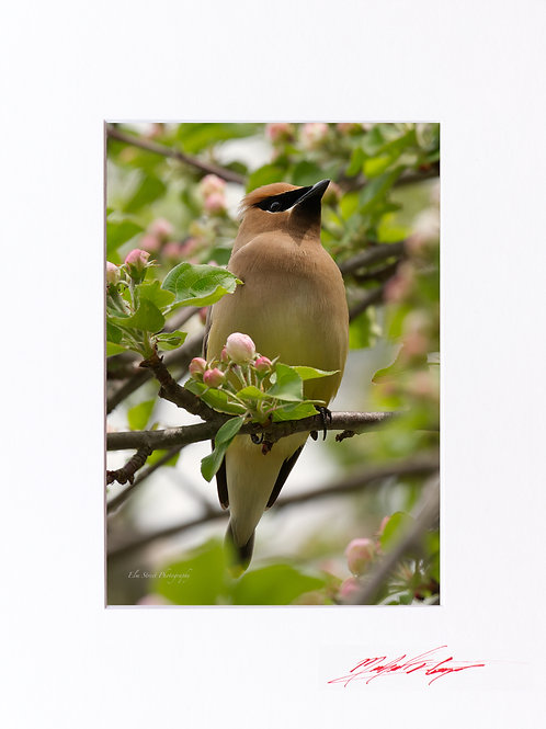 Waxwing in a Crabapple Tree (2), 5x7 Print matted to 8x10