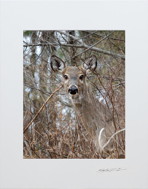 Early spring Deer, 5x7 Print matted to 8x10