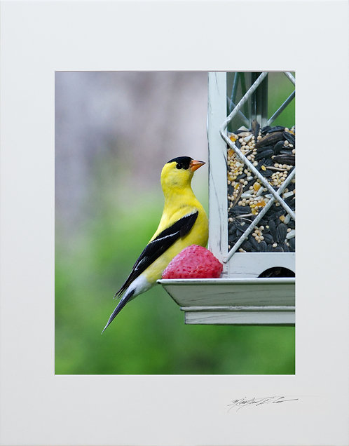A male Goldfinch, 5x7 Print matted to 8x10