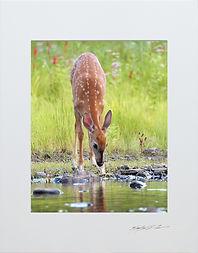 Bambi Drinking 5x7.jpg