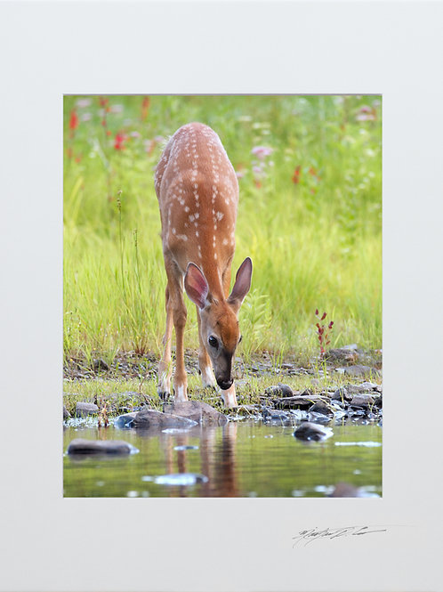 Fawn looking for a drink, taken in Milo, Maine, 5x7 Print matted to 8x10