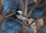 Chickadee 5x7 Hi-Res.jpg