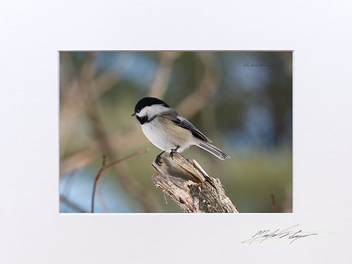 Black Capped Chickadee, perching. 5x7 Print matted to 8x10