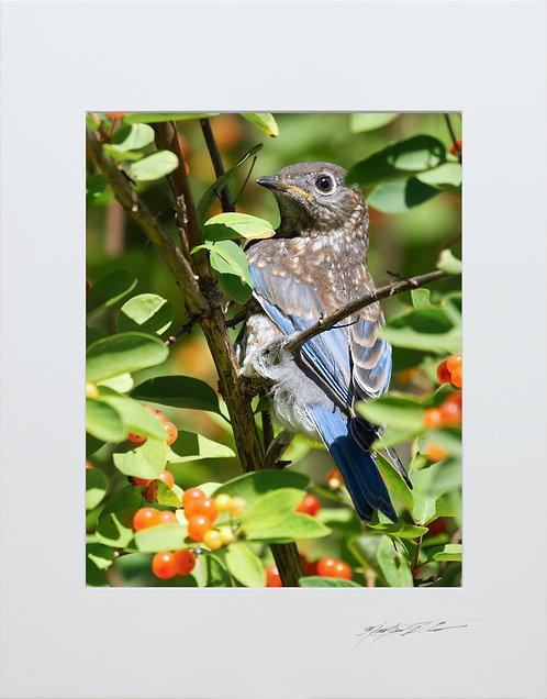 An Eastern Bluebird Fledgling 5x7 Print matted to 8x10