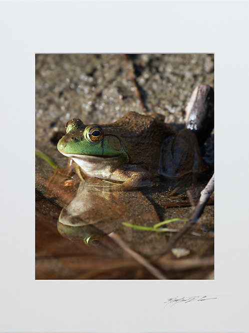 An American Bullfrog and his reflection, 5x7 Print matted to 8x10