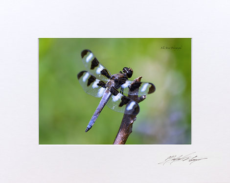 Dragonfly, 5x7 Lustre Matte Print, matted to 8x10