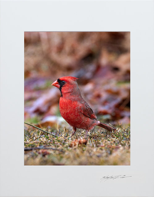 Male Cardinal, 5x7 Print matted to 8x10
