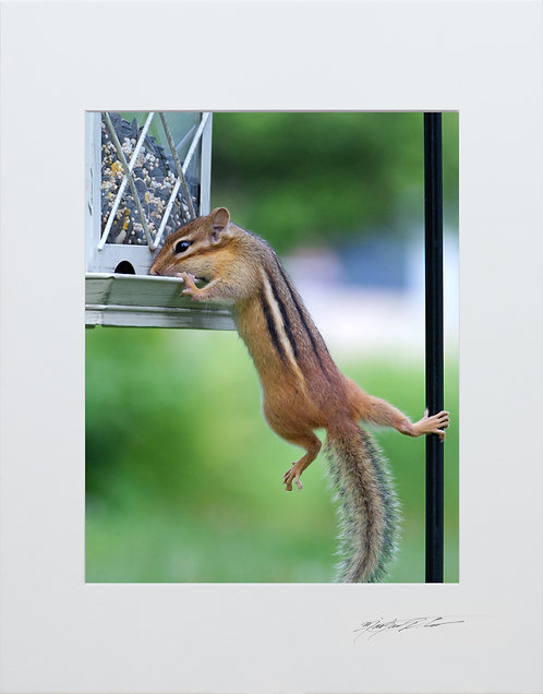 Chippy hanging on, 5x7 Print matted to 8x10