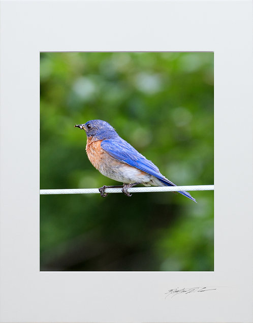 Male Eastern Bluebird, 5x7 Print matted to 8x10