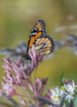 Butterfly 5x7.jpg