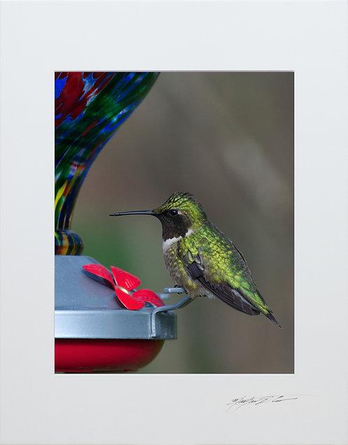 Ruby Throated Hummingbird, 5x7 Print matted to 8x10