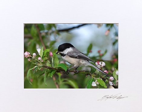 A Black Capped Chickadee having lunch, 5x7 Print matted to 8x10