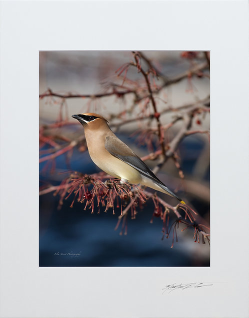 Cedar Waxwing, 5x7 Print matted to 8x10