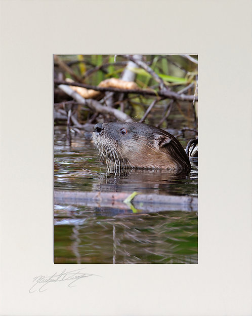River Otter, 5x7 Print matted to 8x10