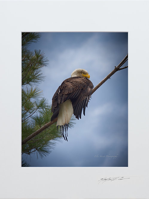 Bald Eagle, on the Piscataquis River, 5x7 Print matted to 8x10