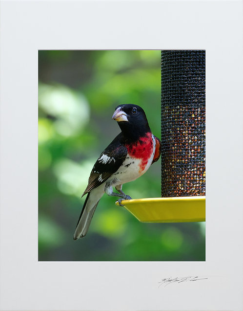 A male Rose-breasted Grosbeak, 5x7 Print matted to 8x10