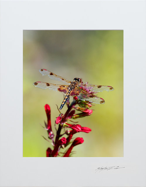Calico Pennant Dragonfly, taken in Milo, Maine, 5x7 Print matted to 8x10