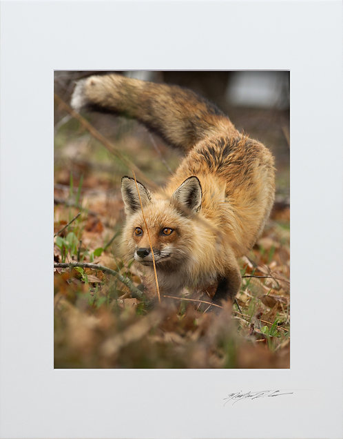 Daytime hunting Fox, 5x7 Print matted to 8x10