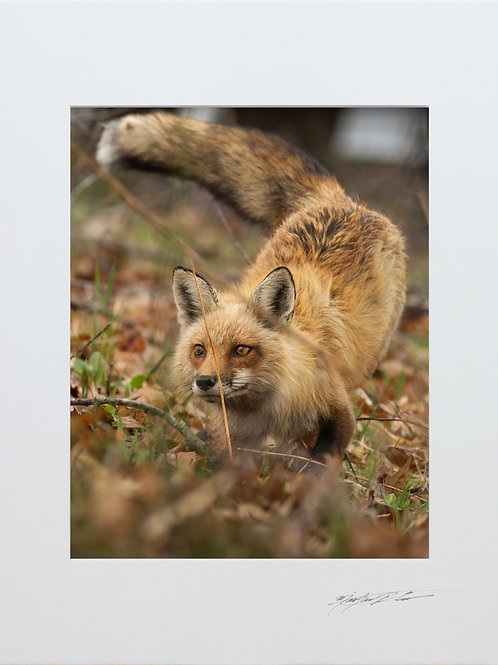 Daytime hunting Fox, 5x7 Print matted to 8x10