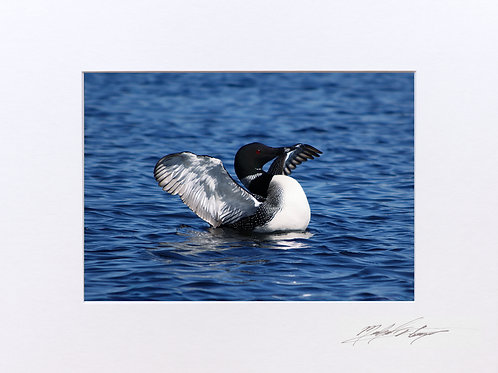 Loon, taken on Caribou Pond, in Lincoln, Maine, 5x7 Print matted to 8x10