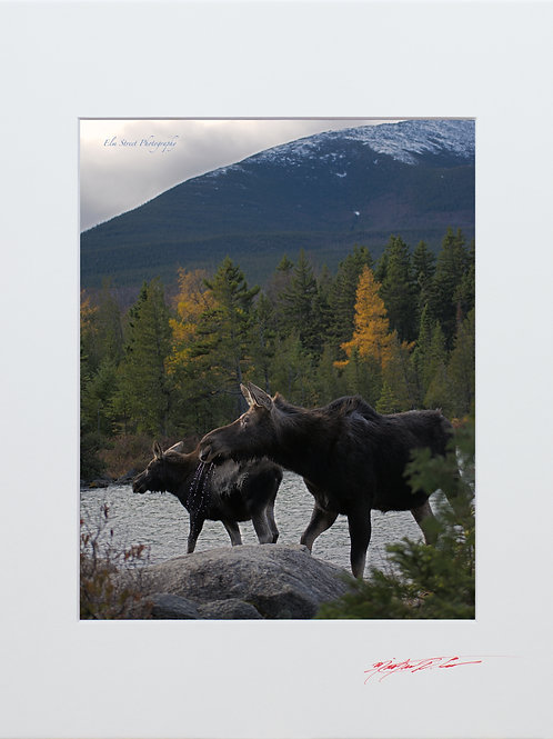 Cow and Calf at Sandy Stream Pond, 8x10 Lustre Matte Print,matted to 11x14