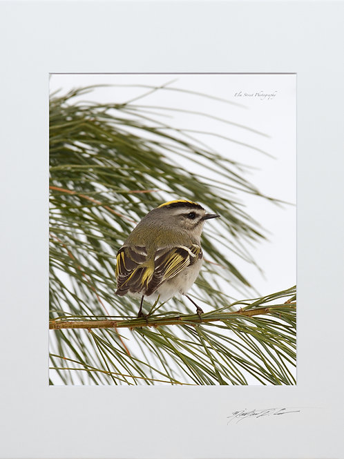 Golden Crowned Kinglet, 5x7 Print matted to 8x10