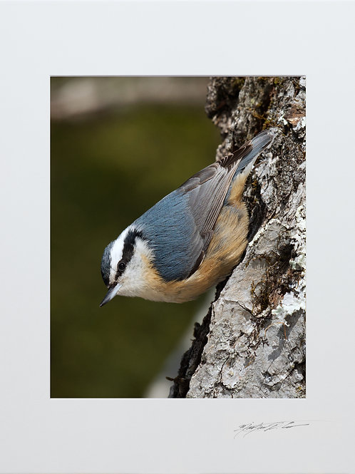 Red Breasted Nuthatch, 5x7 Print matted to 8x10