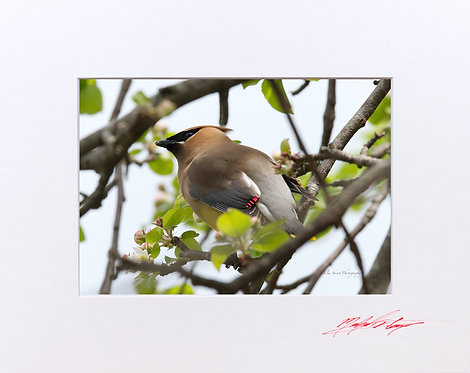 Waxwing in a Crabapple Tree (1), 5x7 Print matted to 8x10
