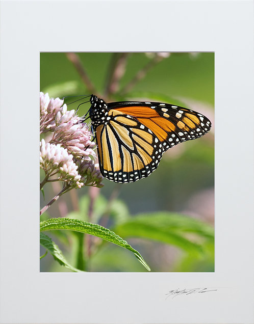 A Monarch Butterfly, taken in Milo, Maine, 5x7 Print matted to 8x10