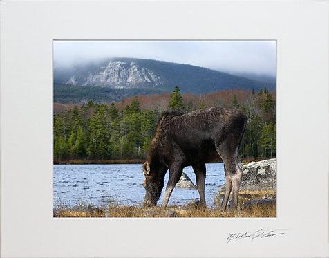 Moose taken in Baxter State Park, 8x10 Lustre Matte Print matted to 11x14