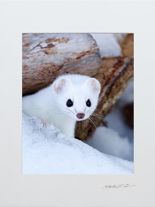 Ermine, 5x7 Print matted to 8x10