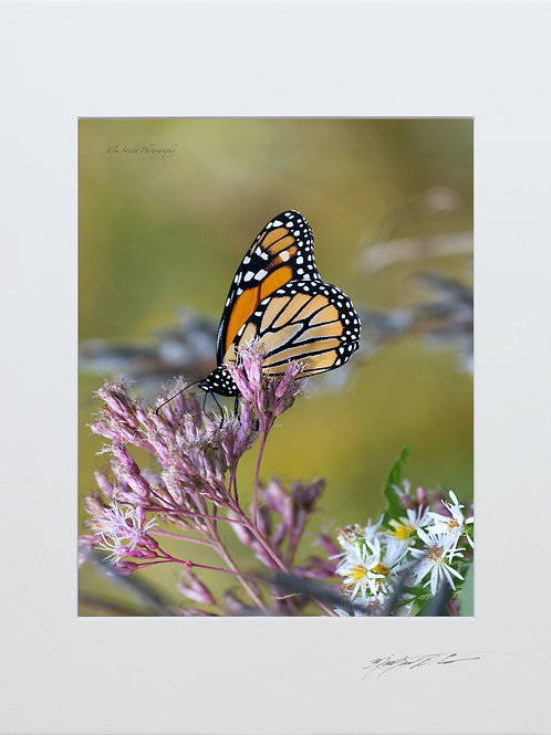 Butterfly, taken in Milo, Maine 5x7 Print matted to 8x10