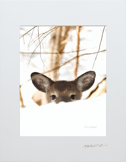 Doe, playing Peekaboo, from behind a snowbank, 5x7 Print matted to 8x10