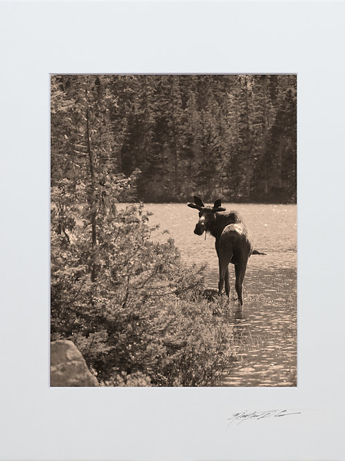 Bull Moose, with that old time feel, 8x10 Lustre Matte Print, matted to 11x14
