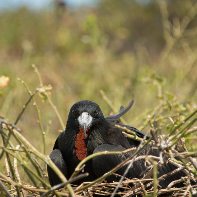 Nesting Frigatebird on Isla Lobos