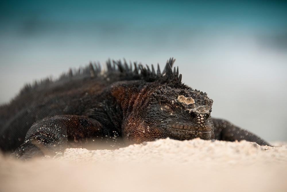 Marine Iguana basking