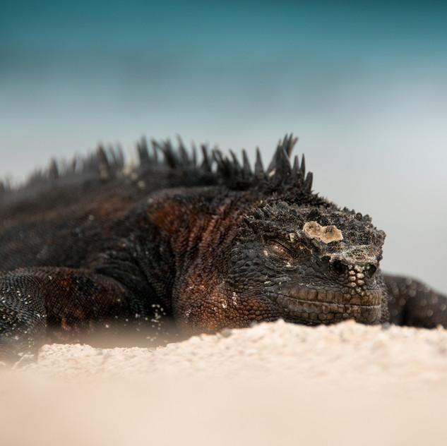 Sleeping Marine Iguana