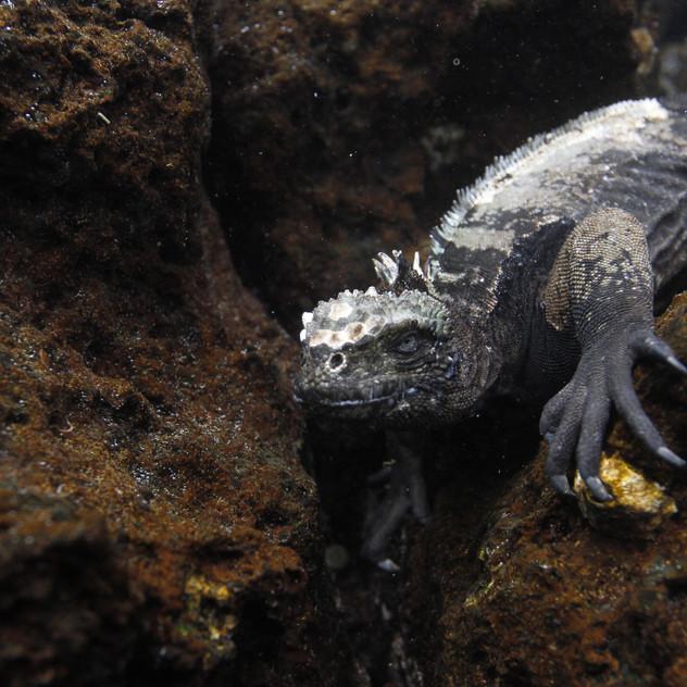 Marine Iguana underwater