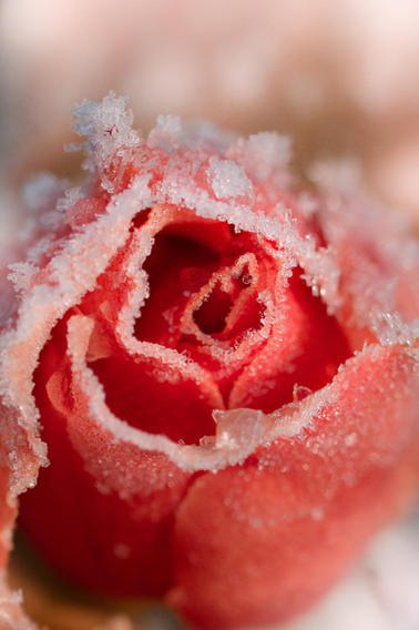 'A Rose's Frosting'