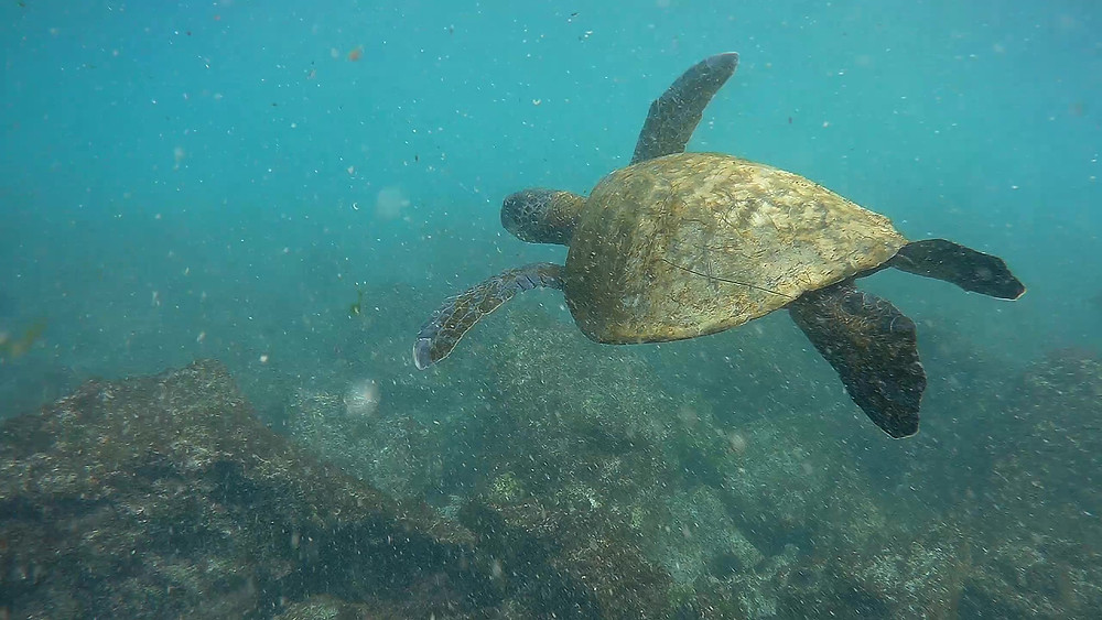 Green Sea Turtle Swimming in Darwin's Bay