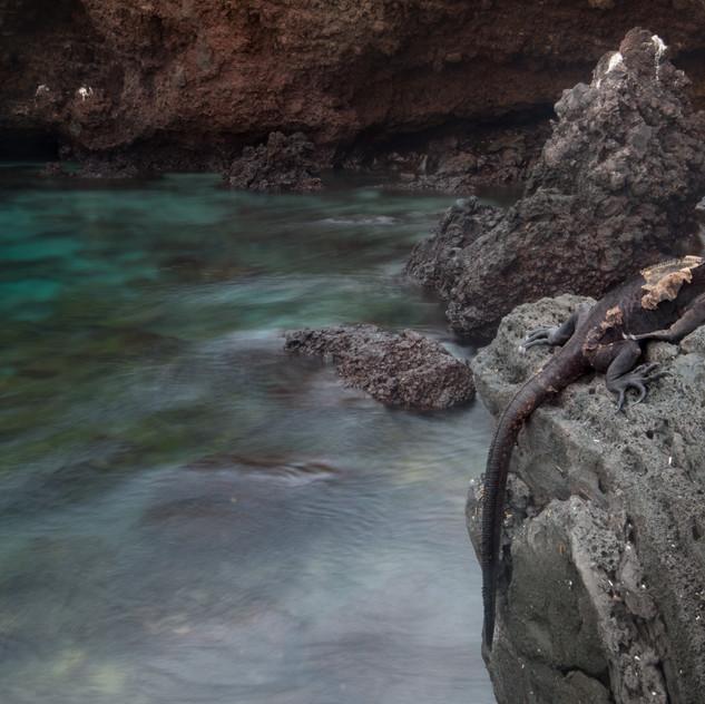 Basking Marine Iguana