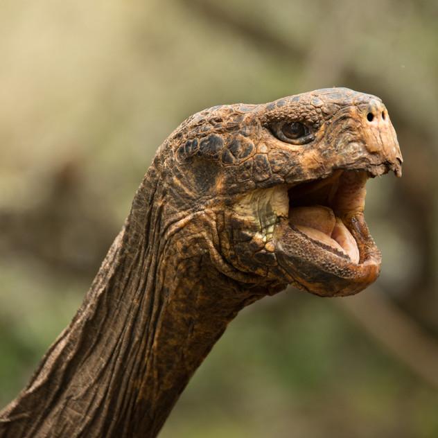Galapagos Tortoise Smile