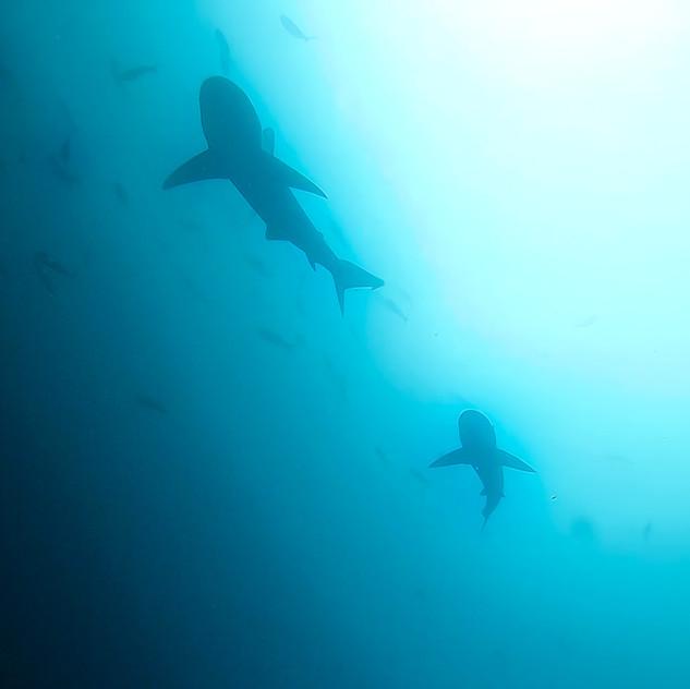 Galapagos sharks at Kicker Rock