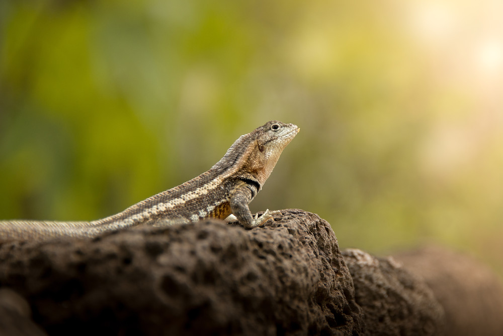 Galapagos Lava Lizard (male)