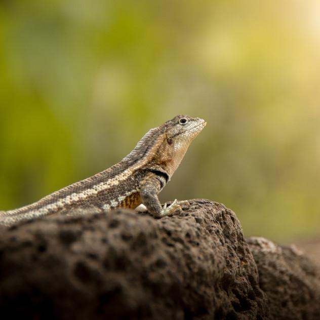 Lava Lizard basking