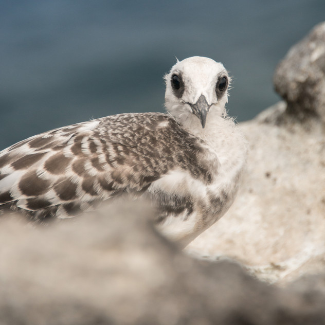 Swallow tailed Gull chick