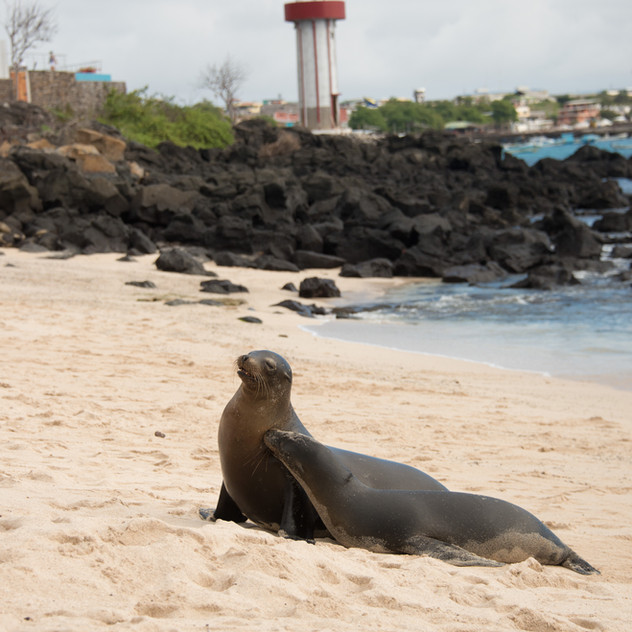 Sea Lion in town