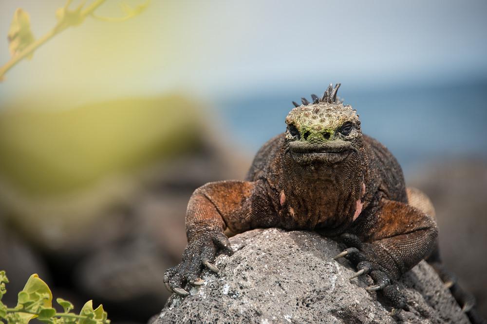 Marine Iguana located at Playa Loberia (prominent salt crown on head)