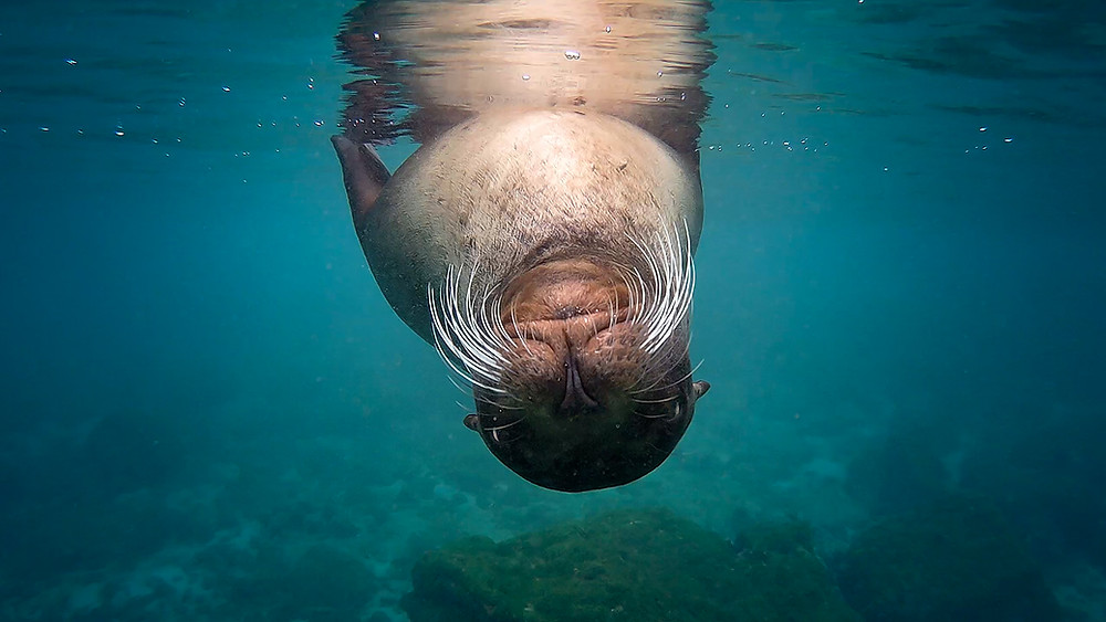 Sea lions love to give  kisses to curious snorkellers