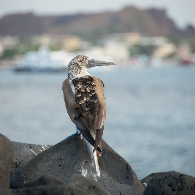 Blue-footed Booby near town